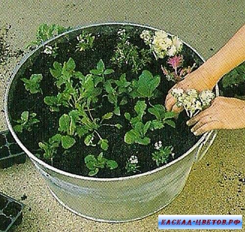 капуста декоративная как выращивать