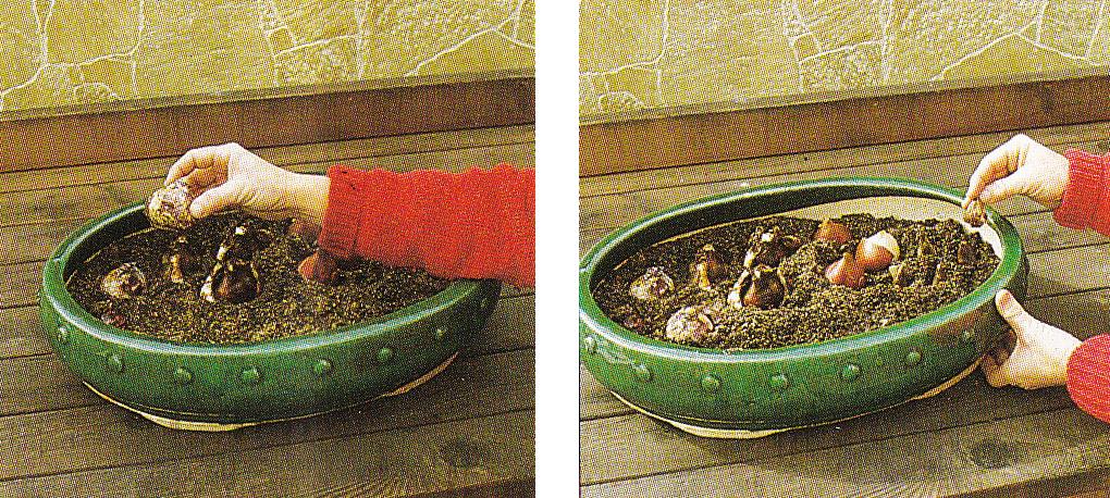 Как сажать луковичные в корзинах 880