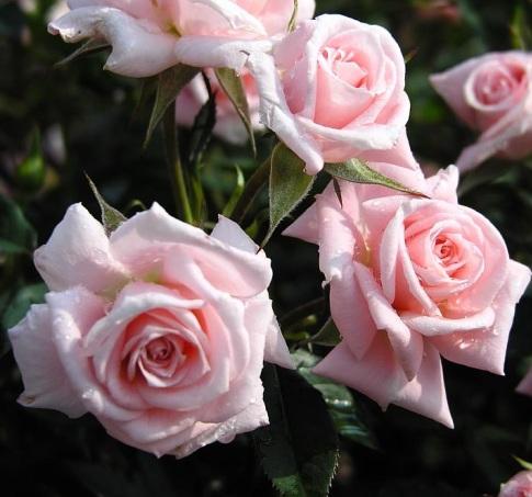 Чайные розы красивые картинки 2